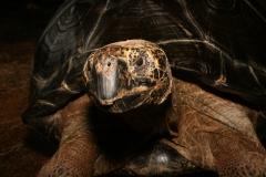 Galapagosreuzenschildpad