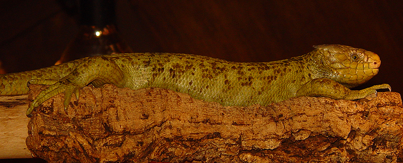 corucia-zebrata-2